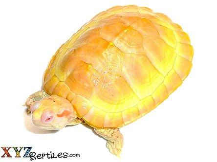Albino Red Eared Slider Turtle