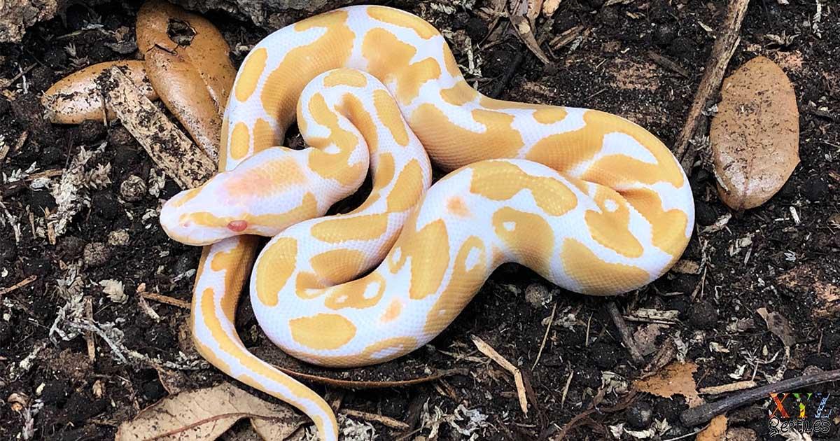 Five Benefits Of Ball Pythons As Pets