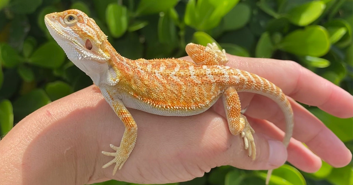 Bearded Dragon Facts: Types, Colors, Variations & Lifespan