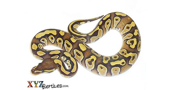 Ball Pythons for Sale | Ball Python Morphs for Sale